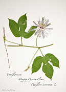 Passifloraceae Prints - Maypop Passion-Flower 1 Print by Roberta Jean Smith