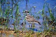 Maria Urso - Artist And Photographer Acrylic Prints - Mays Killdeer 2013 Acrylic Print by Maria Urso - Artist and Photographer