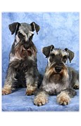 Mini Schnauzer Digital Art - Me and My Buddy  by Maxine Bochnia