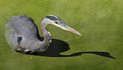 Great Blue Heron Photos - Me and My Shadow by Angie Vogel