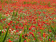Mediterranean Landscape Prints - Meadow covered with red poppies Print by Jose Elias - Sofia Pereira