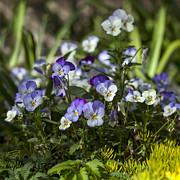 Lynn Palmer - Meadow Cranesbill Flowers