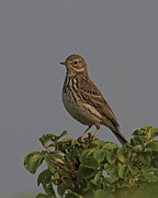 Paul Scoullar - Meadow Pipit