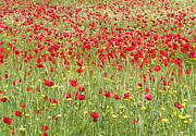 11th Green Photos - Meadow With Beautiful Bright Red Poppy Flowers  by Tracey Harrington-Simpson
