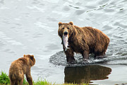 Kodiak Prints - Meal Time Print by Tim Moore
