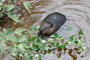 Sandra Updyke - Meal time with the Beaver