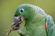 Feeding Birds Prints - Mealy Parrot Amazona Farinosa Eating Print by Ingo Arndt