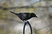 Feeding Birds Metal Prints - Mean Mr. Grackle Metal Print by Ross Powell