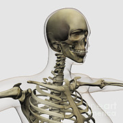Human Skeleton Art - Medical Illustration Of A Womans Skull by Stocktrek Images