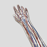 Radial Nerves Prints - Medical Illustration Of Arteries, Veins Print by Stocktrek Images