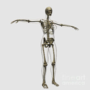 Human Skeleton Art - Medical Illustration Of Full Female by Stocktrek Images