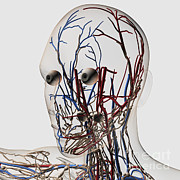Featured Art - Medical Illustration Of Head Arteries by Stocktrek Images