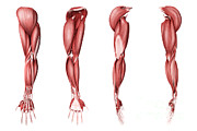 Biomedical Illustrations Posters - Medical Illustration Of Human Arm Poster by Stocktrek Images