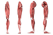 Front Four Posters - Medical Illustration Of Human Leg Poster by Stocktrek Images
