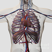 Lingual Artery Posters - Medical Illustration Of Male Chest Poster by Stocktrek Images