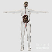 Human Representation Art - Medical Illustration Of Male Digestive by Stocktrek Images
