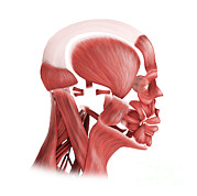 Human Body Parts Posters - Medical Illustration Of Male Facial Poster by Stocktrek Images
