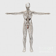 Biomedical Illustrations Posters - Medical Illustration Of Male Lymphatic Poster by Stocktrek Images