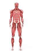 Biomedical Illustrations Posters - Medical Illustration Of Male Muscular Poster by Stocktrek Images