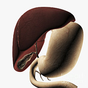 Human Body Parts Posters - Medical Illustration Of The Liver Poster by Stocktrek Images