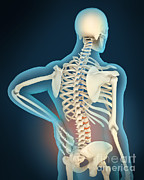 Human Skeleton Digital Art - Medical Illustration Showing by Stocktrek Images