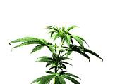 Michael Ledray - Medical Pot Plant