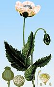 Science Source - Medicinal Plant-Poppy 1815