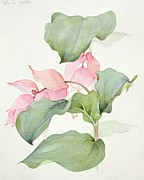 21st Paintings - Medinilla magnifica by Sarah Creswell