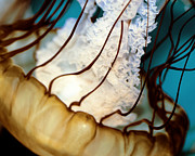Marine Life Photos - Medusa by Kelly Simpson
