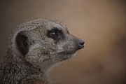 Ernie Echols Framed Prints - Meerkat 10 Framed Print by Ernie Echols