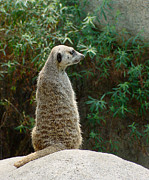 Meerkat Digital Art Prints - MeerKat-182 Print by Gary Gingrich Galleries
