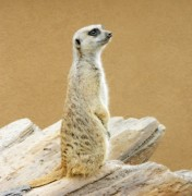 Meerkat Digital Art Posters - Meerkat 2 Poster by Michelle Frizzell-Thompson