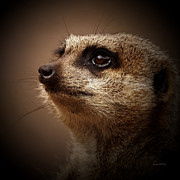 Ernie Framed Prints - Meerkat 6 Framed Print by Ernie Echols