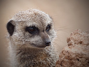 Meerkat Photos - Meerkat 7 by Ernie Echols