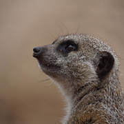 Ernie Echols Framed Prints - Meerkat 8 Framed Print by Ernie Echols