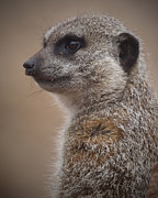 Ernie Echols Framed Prints - Meerkat 9 Framed Print by Ernie Echols