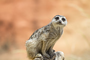 Meerkat Photos - Meerkat manor V3 by Douglas Barnard