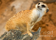 Jacksonville Framed Prints - Meerkat Framed Print by Millard H. Sharp