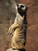 Meerkat Posters - Meerkat on Alert Poster by Cleaster Cotton