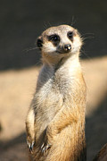 Regina  Williams  - Meerkat