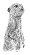 Meerkat Drawings - Meerkat  by Stuart Fowle