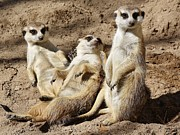 Meerkat Digital Art Prints - Meerkats Print by Paulette  Thomas