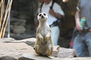 Meerkat Photos - Meerket - National Zoo - 01132 by DC Photographer