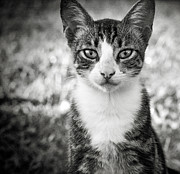 Cute Kitten Posters - Meet George Poster by Karen Lewis