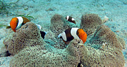 Clown Fish Photos - Meet the Nemo family by Paul Ranky