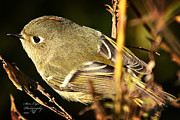 Ruby-crowned Kinglet Birds Photos - Meet the Ruby-crowned Kinglt by Stanley Lupo