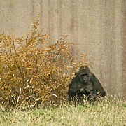 Primate Photos - Melancholy by Trish Tritz