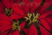 Christmas Greeting Digital Art - Mele Kalikimaka - Poinsettia  - Euphorbia pulcherrima by Sharon Mau