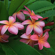 Tropical Pacific Island Art Posters - Melia Hae Hawaii Pink Tropical Plumeria Keanae Poster by Sharon Mau