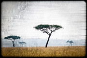 Dismal Framed Prints - Mellow Mara Acacias Framed Print by Mike Gaudaur